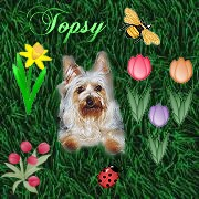 Silky Terrier Dame Topsy
