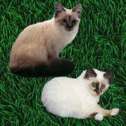 Bijou und Nikita von den Kuschelkatzen